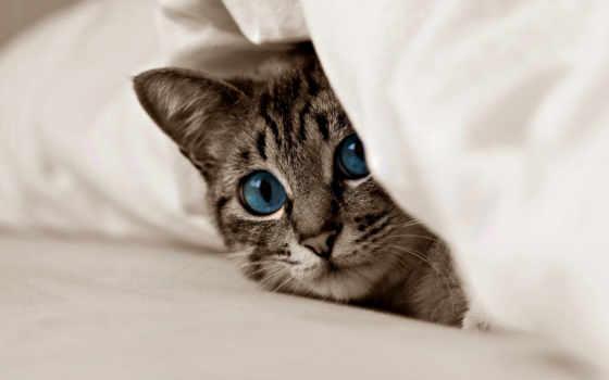 кот, кошки, котенок, взгляд, картинка, свет, zhivotnye, cats, голубые, коты,