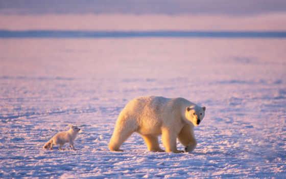 arctic fox, медведь, white, белые, медведи, arctic, лед, мишка,