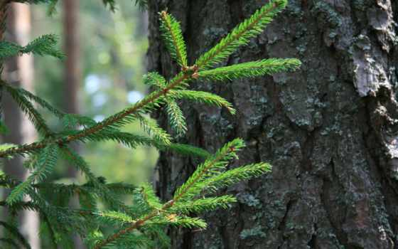 ёль, pine, иголки, дерево, хвоя, лес, природа, картинка, ствол, нужно, прогулка,