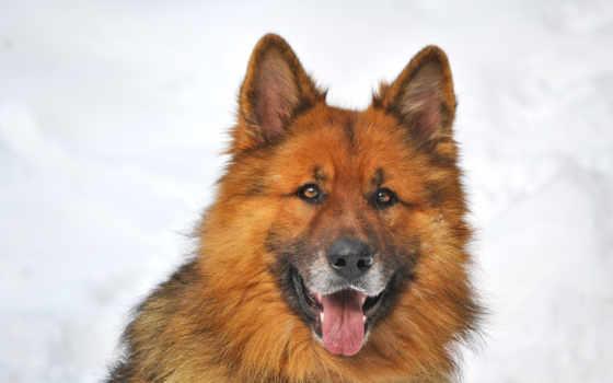 немецкая, овчарка, собака, снег, яndex, коллекциях, собак, собаки, winter,