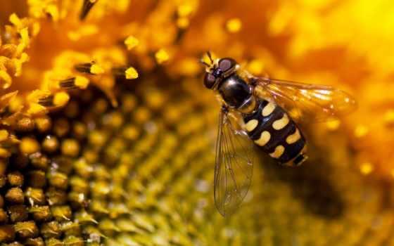 пчелка, макро, цветке, цветы, яndex, макромир, annl, мед,