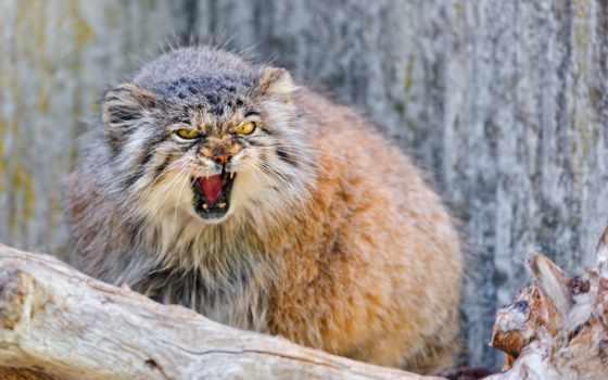 манул, кот, wild