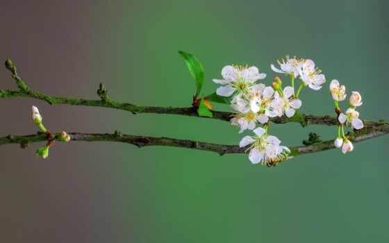 весна, цветение, цветы, лист, бутон, branch