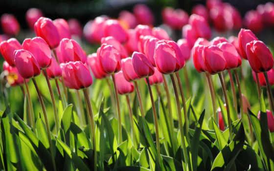spring, tulips, pink