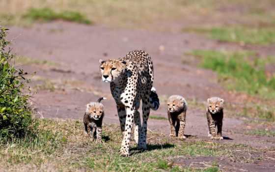 animals, feline, кошачьи, run, cheetahs, гепарды, lions, гепард, gatos, животные, cubs,