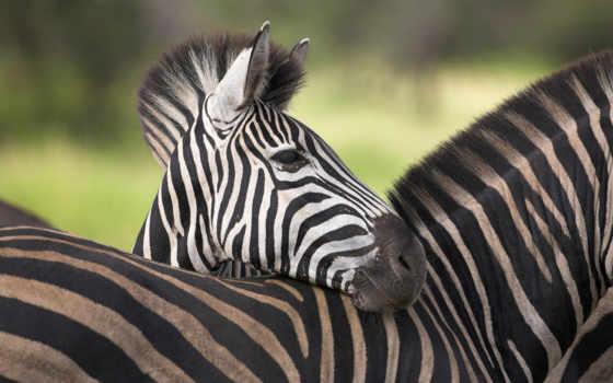 animal, zebra, морда, уши, добавлено, обоях, zhivotnye, года,