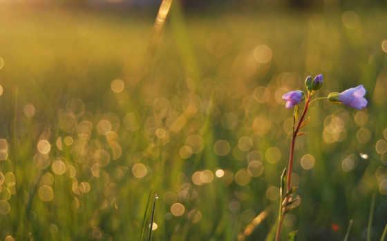 цветы, роса, макро