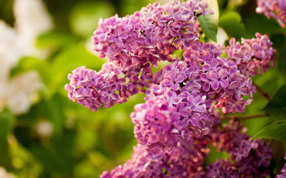 цветы, сиреневый, этом