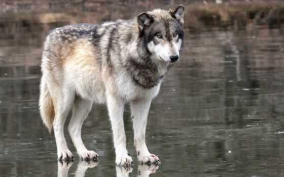 страница, волк, possible