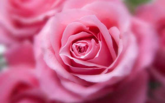 cvety, роза, бутон
