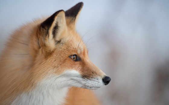глаза, animal, голова, фокс, bokeh, animals,