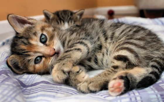 кот, лежит, котенок