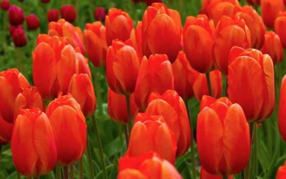 весна, заставки, тюльпаны, pair, march, природа, влюбленная,