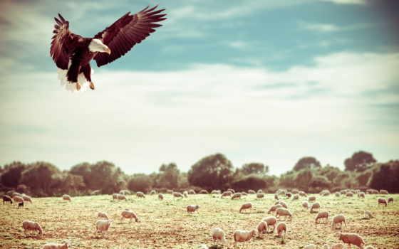 zhivotnye, орлан, кот, полет, поле, трава, águia, картинка, небо, рыжие,