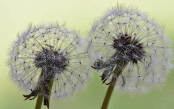 день, цветы, free, октябрь, shutterstock, удар, today, одуванчик, und, тематика