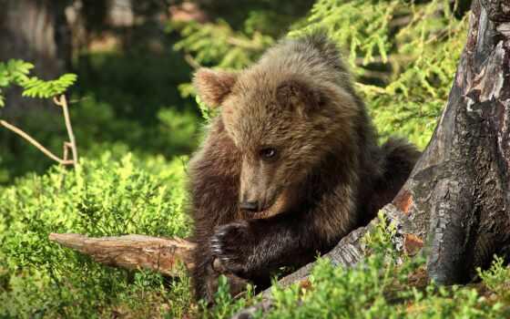 медведь, фото, дерево, природа, animal, narrow, хороший, baby, grizzly