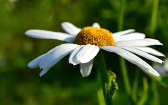 ромашка, макро, цветы