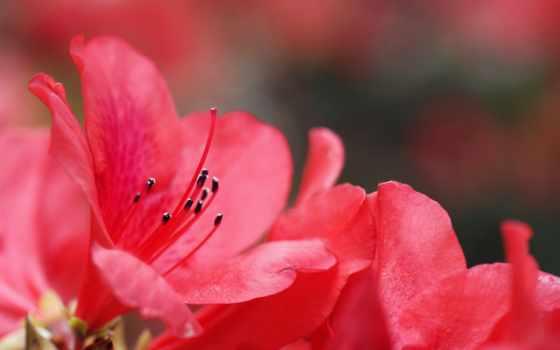 cvety, розовые, азалия, разных, sbornik, видов,
