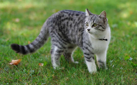 кот, серый, file
