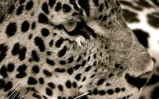кошачьих, год, cats, funny, mobile, глаза, гепард, sleepy, котенок, кот,