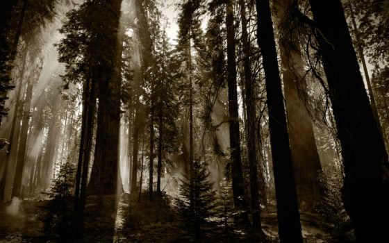деревья, лес, темно, download, redwoods, fuming, nature, стволы,