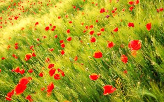 маки, поле, природа