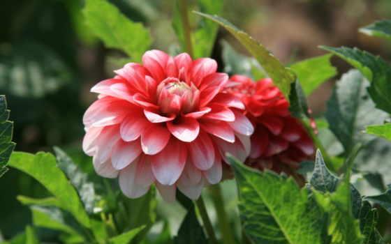 пион, цветы, прогулка