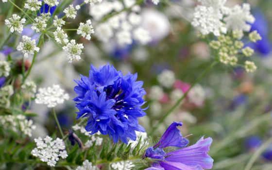 цветы, полевые, луговые, травы, поле, василек, zhivotnye, луг, цветов,