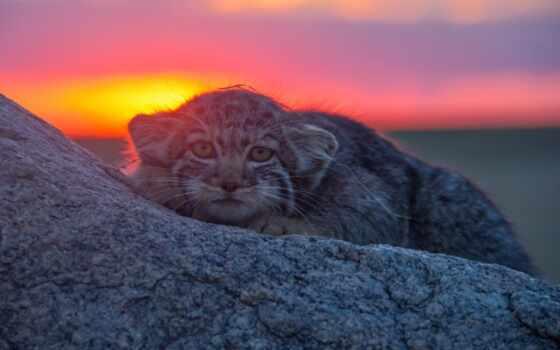 манул, камень, фон, ответить, ложь, кот, день, назад, свечение, define