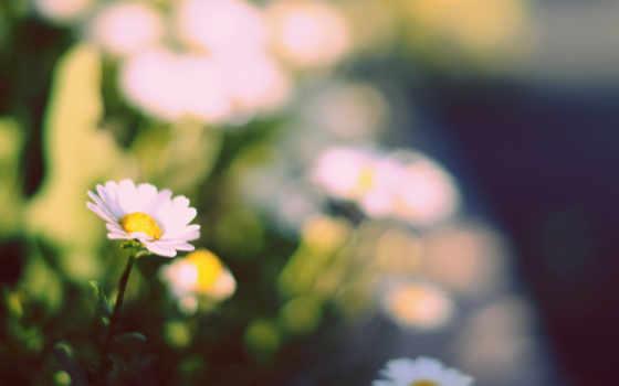 cvety, yellow, цветочек, широкоэкранные, полноэкранные, широкоформатные, зелёный, ромашка,