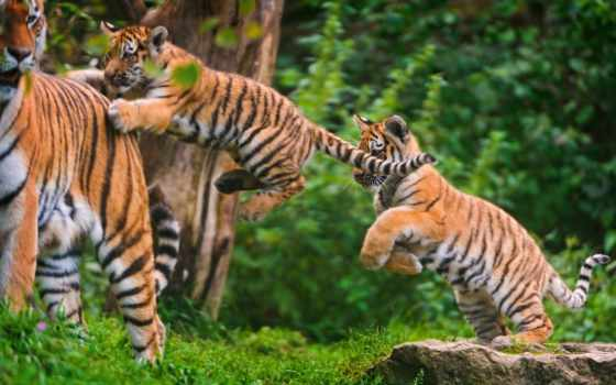 тигр, jumping, pictures, tigers, cubs, stock, photos, детёныш, getty,