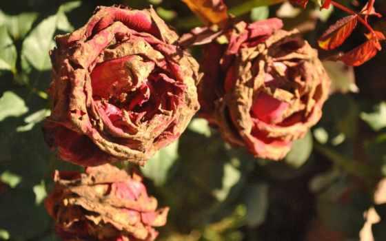 free, photos, dead, использование, commercial, цветы, роза, red,