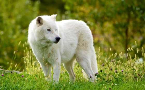 волк, красивый, ноутбук, arctic, many, заставка, биг, волков