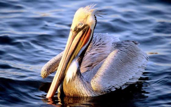 pelican, животных, красивые