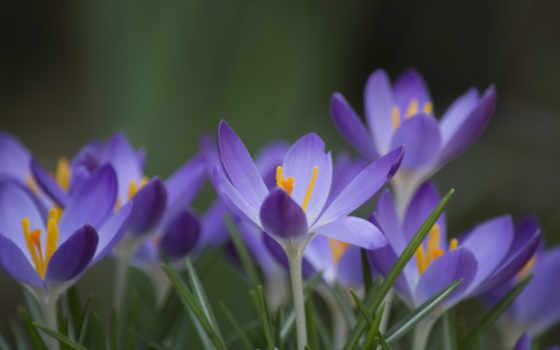 цветы, focus, сиреневые, макро, лепестки, весна, крокусы,