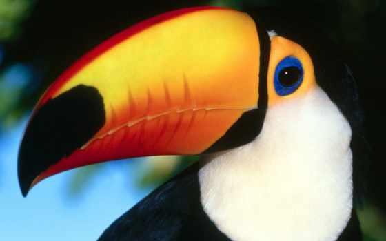 toucan, птицы, птица