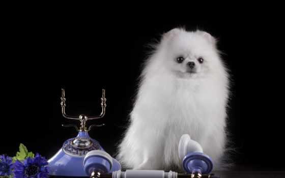 телефон, шпиц, cvety, zhivotnye, собака, собаки, white, black, картинку, картинка,