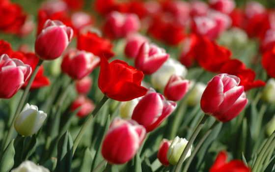 тюльпаны, обои, красные, цветы, широкоформатные, т