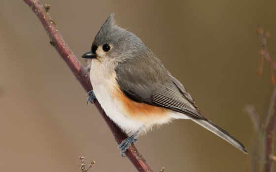 bird, desktop, tufted, titmouse, photos, птицы, free, ветке, фв, users, click, photography,