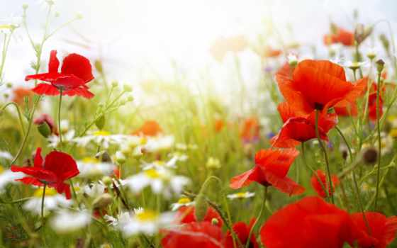 summer, маки, цветы