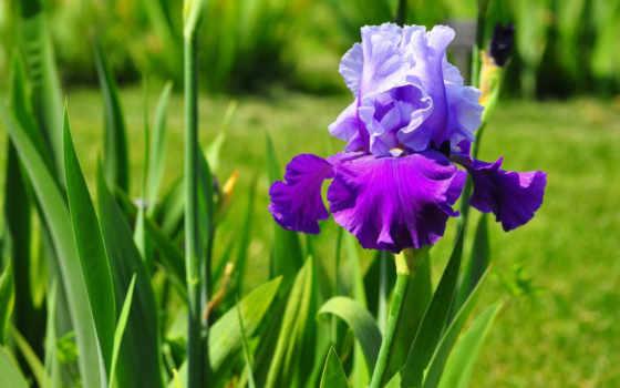 цветы, ирисы, хризантемы