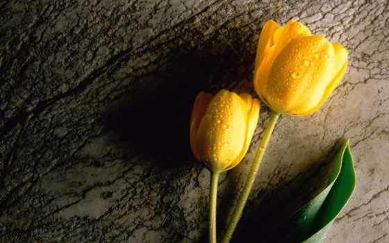 тюльпаны, желтые, два,