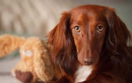 собаки, собак, dachshund, собака, породы, ушами, уши, длинными, длинные, за,