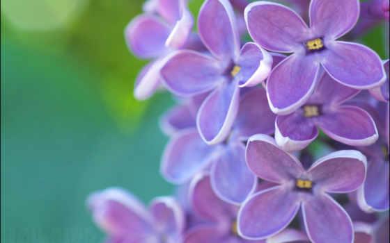 сиреневый, весна, cvety, purple, emerald, сирени,