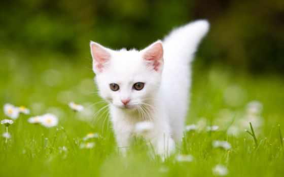 котята, котенок, белые