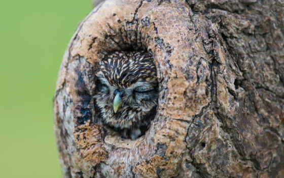 сова, спит, дупле, ложбинка, дерево, природа, птицы, совы,