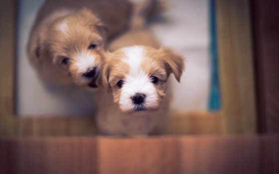 щенок, собаки, гаванский, бишон, бесплатные, милые, bokeh, щенки,