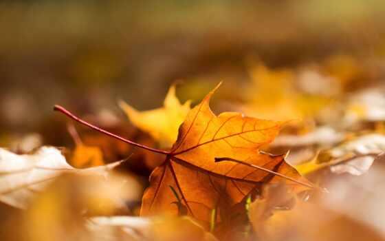 макро, daun, осень, leaf