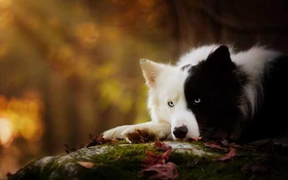 собака, white, black, cute, пушистый, border, колли, pet