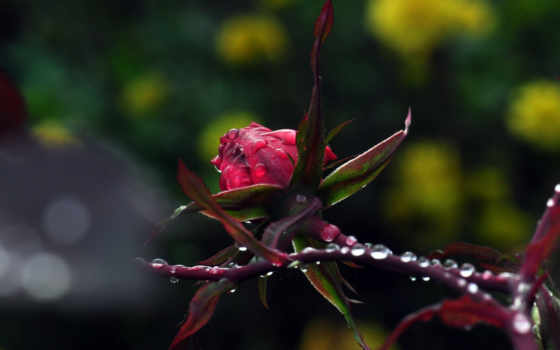 макро, цветы капли